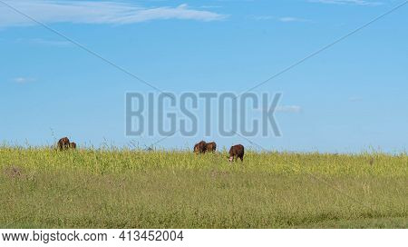 Cattle Farming In The Fields Of The Pampa Biome In Southern Brazil