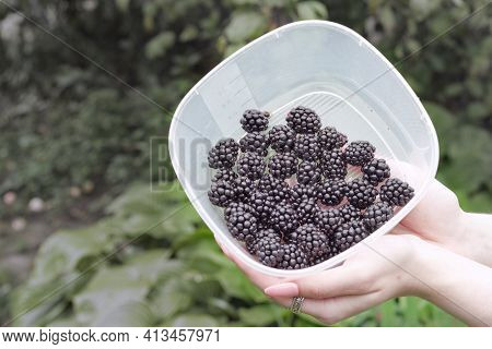 Some Black Raspberries Collected In Plastic Food Container, Held In Woman Hands