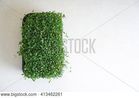 Microgreen Alfalfa In A Black Tray. Top View, Copy Space.