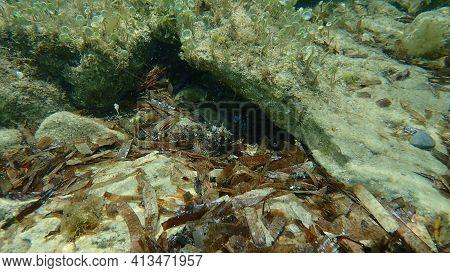 Black Scorpionfish (scorpaena Porcus) Undersea, Mediterranean Sea, Cape Of Antibes, France