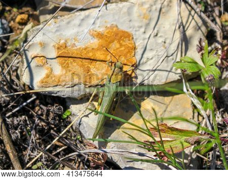 A Green Locust Or Grasshopper Sits On A White Stone In Green Grass. Top View, Selective Focus.