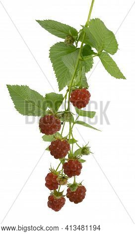 Ripe Raspberries Isolated On White Background Close-up. Red Raspberries With Leaves. Natural Product