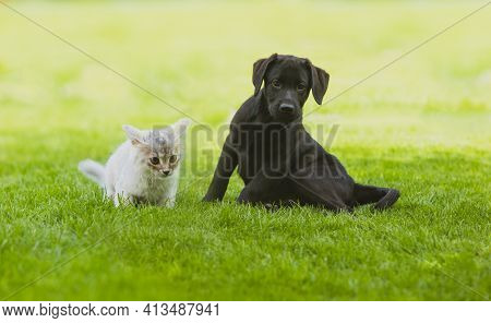 Black Labrador Puppy Play With Gray Kitten On The Green Grass