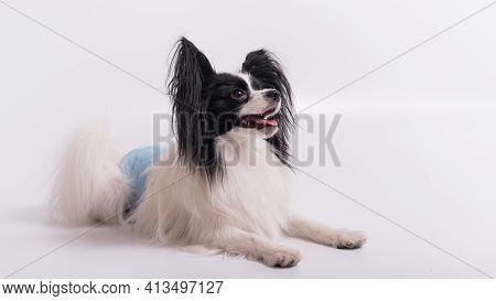 Portrait Of A Cute Dog Continental Spaniel In A Males Hygiene Belt. Papillon Is Wearing A Diaper Aga