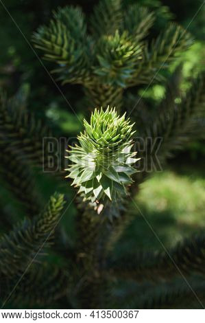 Evergreen Green Araucaria Araucana Chilean Or Monkey Puzzle Tree, Monkey Tail Tree, Pinonero, Pewen,