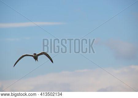 An Arctic Tern, Sterna Paradisaea In Flight Against Cloudy Sky