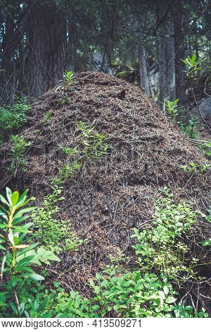 Big Forest Anthill In Vanoise National Park Valley, Savoy, French Alps