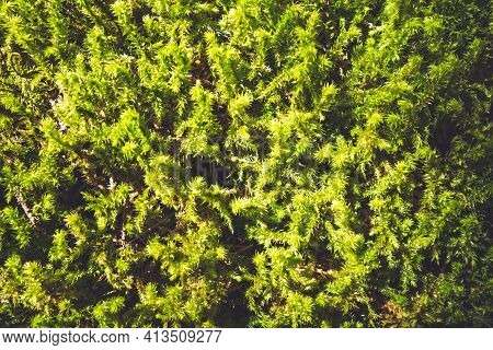 Moss Detail In Vanoise National Park Forest, French Alps.
