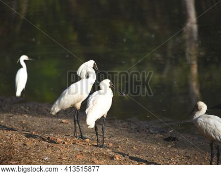 Close Up Of A Group Of Beautiful Royal Spoonbills And A Snowy Egret Near Cairns, Australia. Note The