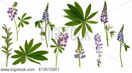 Many Stems Of Lupine Flowers And Leaves And Pods Isolated On White Background