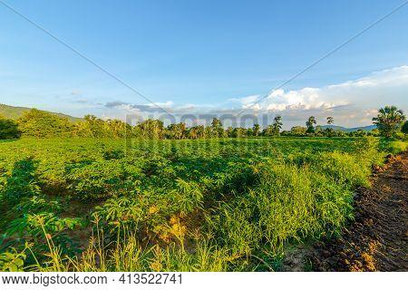 Tapioca Farm, Potato Farm, Tapioca Plantation Growth And Mountain Background. Farm, And Agriculture
