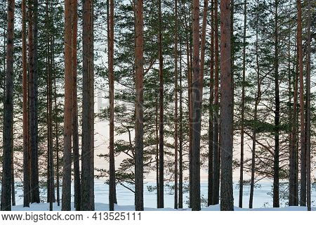 Part Of Brown Trunks And Branches With Green Needles Of Pine Trees Closeup With Clearance Of Blue An