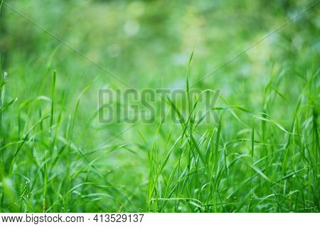 Fresh Spring Wild Green Grass Background At Sunny Day