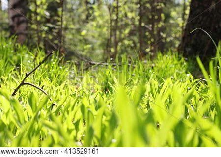 Natural Background With Fresh Green Leaves Lily Of The Valley In Morning Sunlight