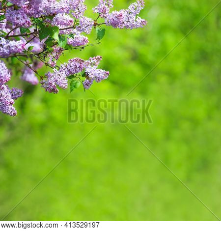 Blooming Pink Purple Flowers Close Up View Spring Flower Background