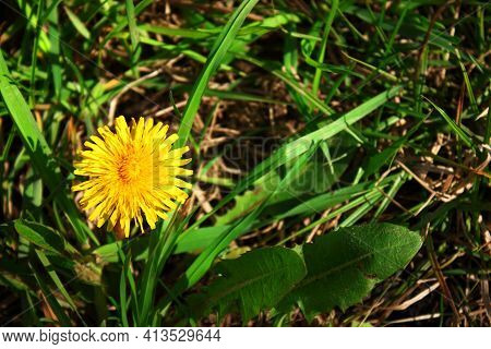 Flowers Yellow Dandelion Taraxacum Officinale. Detail Of Bright Common Dandelions In The Meadow In S