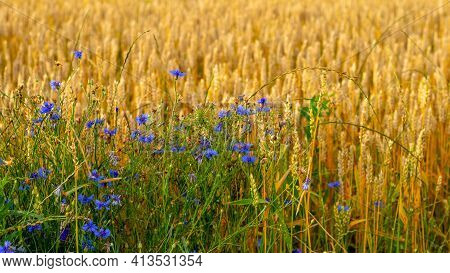 Blue Cornflowers On The Edge Of A Wheat Field