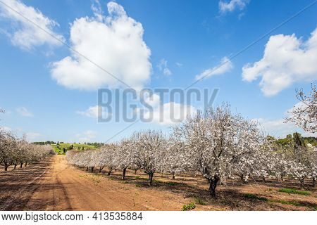Spring day in February. Grove of almond trees in spring bloom. Picturesque alley of flowering almond trees. Israel. Light white clouds in the blue sky.
