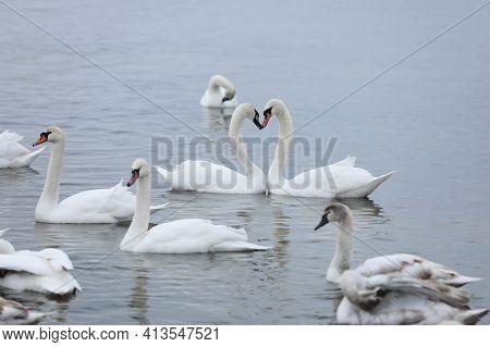 White Swan Flock In Spring Water. Swans In Water. White Swans. Beautiful White Swans Floating On The