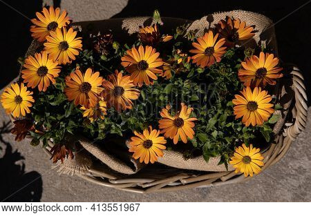 Full Basket With Beautifully Blooming Dimorphoteca Or African Daisies In Orange Color Potted In The