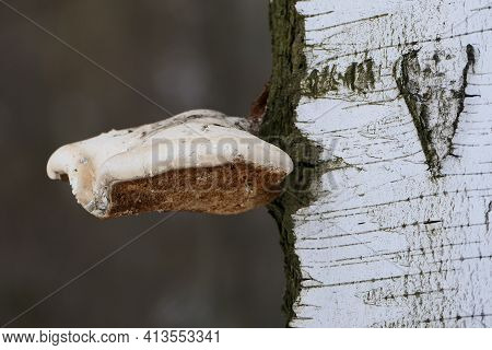 The Chaga Mushroom Is Large On The Trunk Of The Tree. The Texture Of The Birch Trunk. Close-up.
