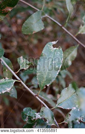 Simple Alternate Distally Narrow Rounded Proximally Acute Dentately Margined Leaves Of Toyon, Hetero