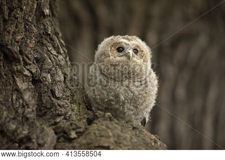 Tawny Owl - Strix Aluco - Juvenile Just Out From The Nest. Czech Republic