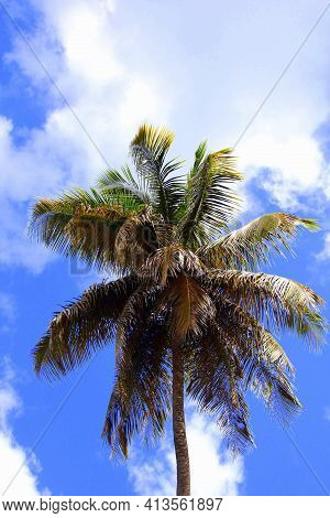Palm Tree In The Caribbean Island Standing Tall High In The Sky Outdoors.