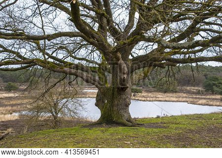 Lonely Old Tree Among The Early Springtime Grass. Old Maple Tree At The River.