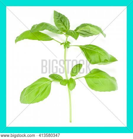 Fresh sweet Genovese basil leaves isolated over white background cutout.