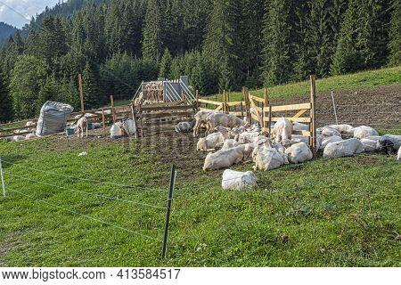 Automatic Milking Sheep, Farm In Low Tatras Mountain, Slovak Republic. Milk Production Theme.