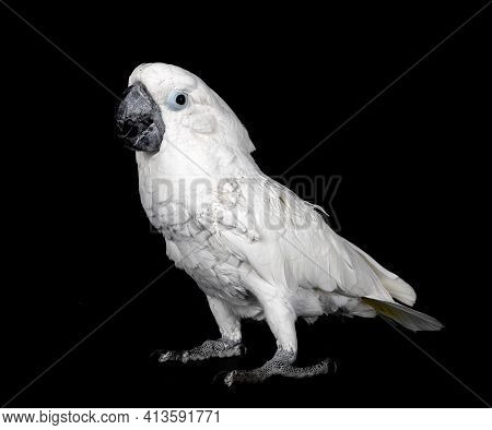 White Cockatoo In Front Of Black Background
