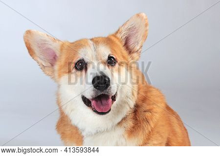 Close-up Welsh Corgi Pembroke On A Gray Background In The Studio Shooting