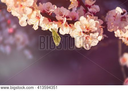 Apricot Blossom In The Spring Garden. A Butterfly Collects Nectar From Flowers. Beautiful Lilac Pink