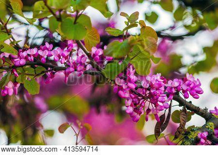 European Cercis, Or Judas Tree, Or European Scarlet. Close-up Of Pink Flowers Of Cercis Siliquastrum