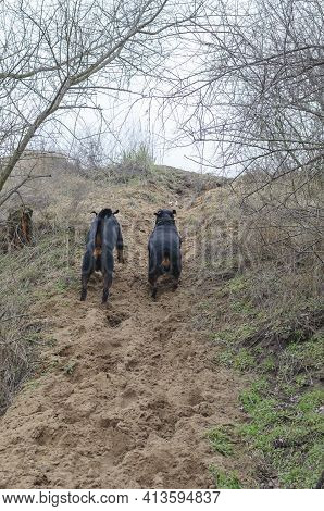 Two Black Dogs Race Up The Sandy Path. Adult Female And Male Rottweiler. A Pair Of 4 Summer Pets. Do