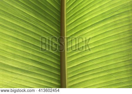 The Green Banana Leaf Background Picture Comes From The Banana Leaves, Fresh From The Banana Tree.