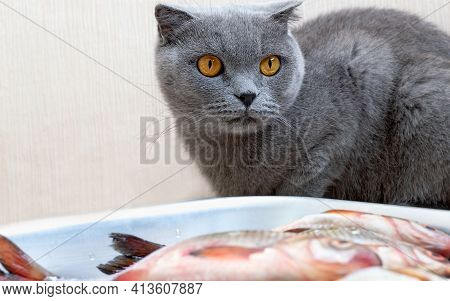 Gray Cat Sits Near A Bowl With Fish And Waiting For The Permission Of Owners.