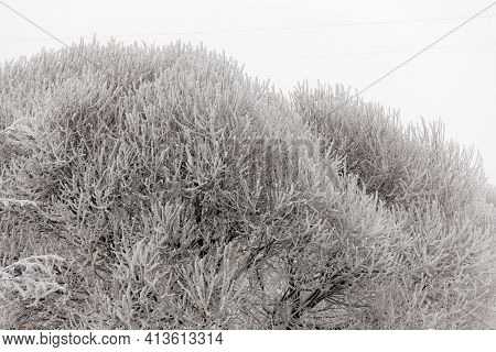 Willow Branches In Hoarfrost On A Cold Winter Day