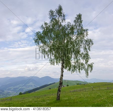 Single Birch Growing On Mountain Slope Among The Fenced Hayfields On A Background Of Distant Ranges