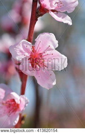 Nectarine Stark Redgold Flowers - Latin Name - Prunus Persica Var. Nucipersica Stark Redgold