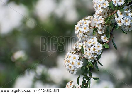 Beautiful Fresh  Branch With Inflorescences Of White Spirea Flowers  On Multicolored Greenery  Flora