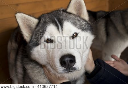 The Siberian Husky Dog Looks At The Camera And He Is Stroked Around The Neck Of His Hands. The Conce