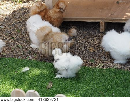Chick Silkie Chicken Fur Is Similar To A Soft Silk Thread With A Furry Appearance, Animal White And