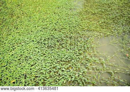 Morning Glory Plant Growth On Pond, Morning Glory Vegetable Water Weed