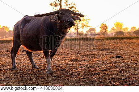 Swamp Buffalo At A Harvested Rice Field In Thailand. Buffalo Stand At Rice Farm In The Morning With
