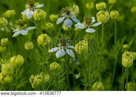 Closeup Top Shoot Of Off White-tinged Nigella Sativa Flowers Plant Into The Village Biggest Crops Fi