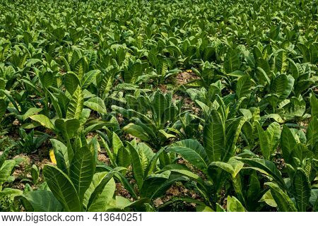 The Green Tobacco Leaf Plant Of The Nightshade Or Solanaceae Family That Used For Smoke