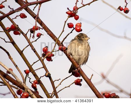 Sparrow in a dog rose shrub