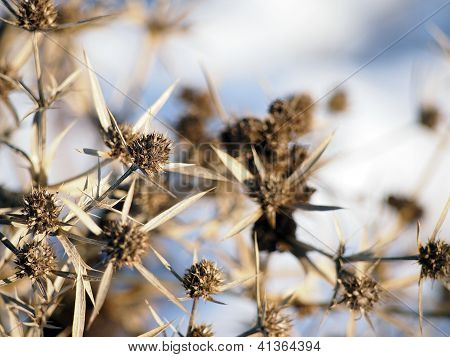 Eryngium Campestre (field Eryngo) Plant In Winter